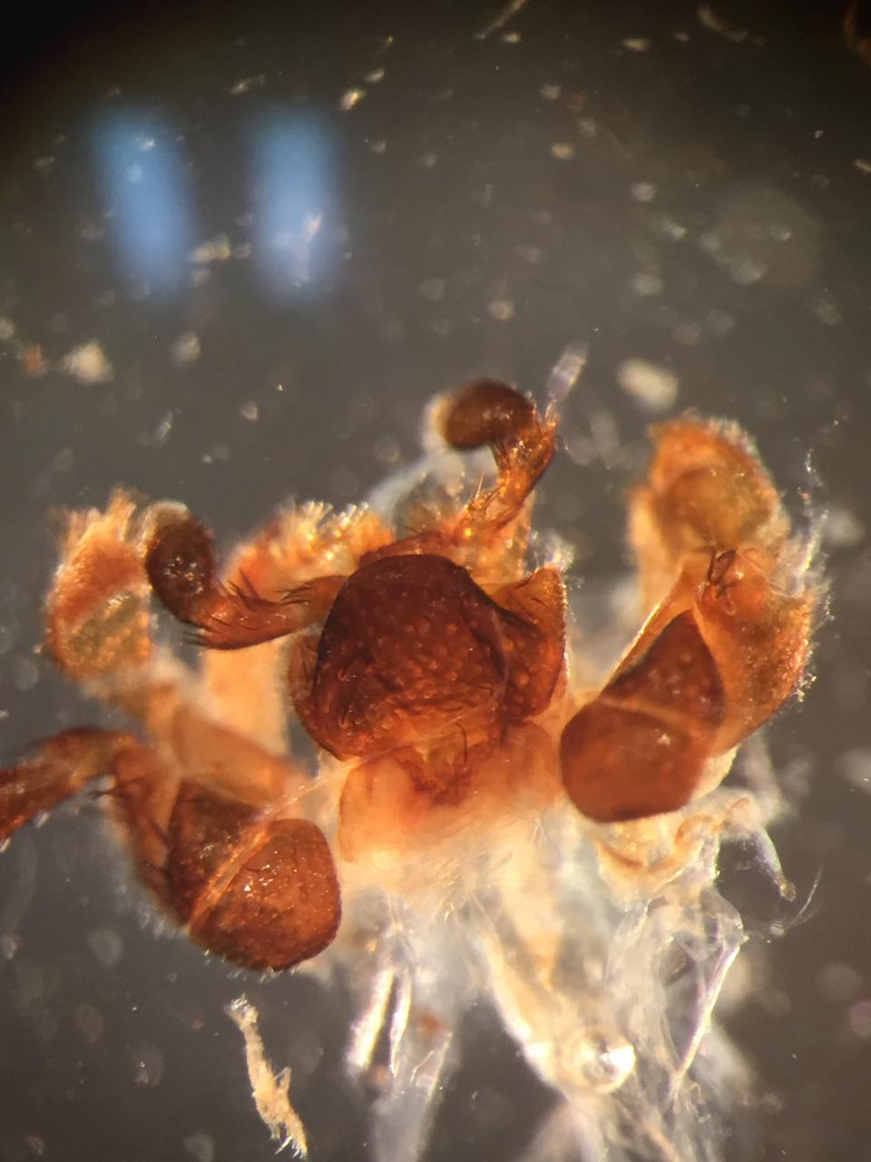 Dissected Mouthparts of Eleodes extricatus