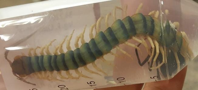 Centipede caught in tube