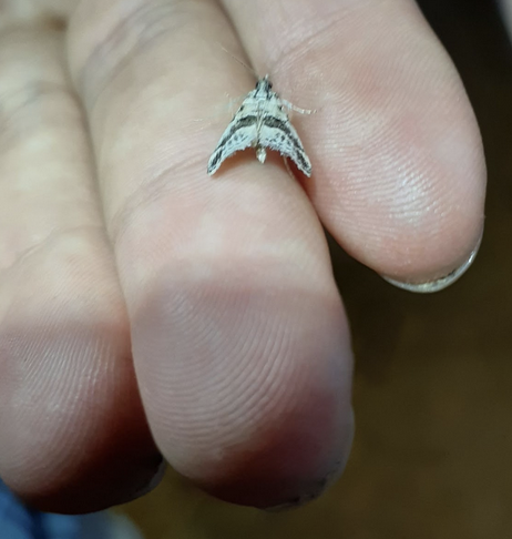Micro moth in hand