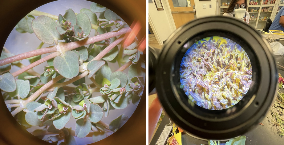 Looking at plants through the herbarium microscopes